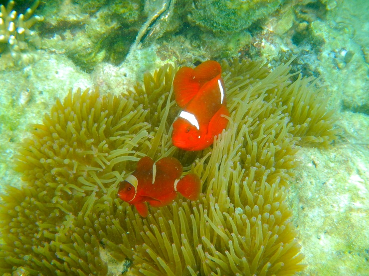 Clown Fish and Sea Anemone , easy to find in Pahawang Islands