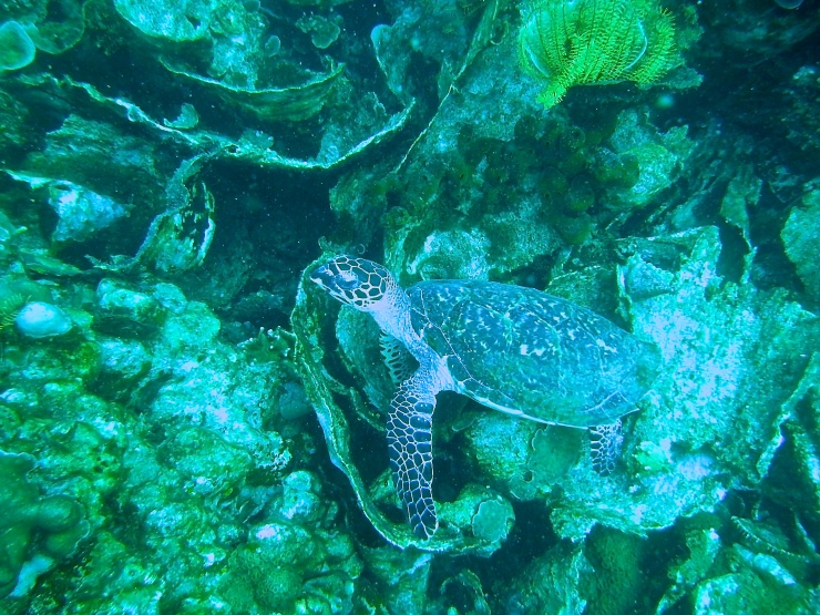 Found a guest star, Green Turtle, in Tegal Island