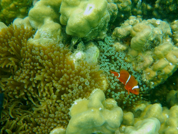 another clownfish and anemone . They are always together all the time :smile: