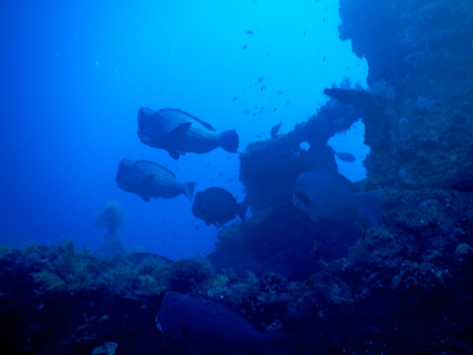 The Bumphead Parrotfish