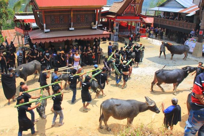 buffalos and pig are ready to be sacrificed